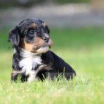 2021_05_HAVANESER_BOLONKA_Welpen_Hundebabies_0652