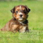 2021_05_HAVANESER_BOLONKA_Welpen_Hundebabies_0655
