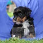2021_05_HAVANESER_BOLONKA_Welpen_Hundebabies_0661
