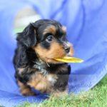 2021_05_HAVANESER_BOLONKA_Welpen_Hundebabies_0662