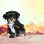 2021_05_HAVANESER_BOLONKA_Welpen_Hundebabies_0666